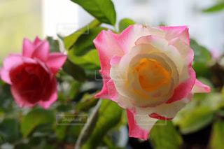 近くの花のアップの写真・画像素材[1508575]