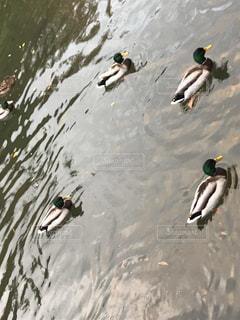 水体でカモメの群れが泳いでいます。の写真・画像素材[1649060]