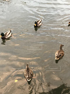 水体でカモメの群れが泳いでいます。の写真・画像素材[1649061]