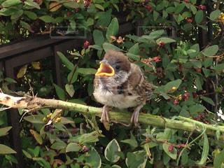 さえずる雀のヒナの写真・画像素材[1487419]