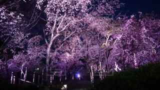 ライトアップされた桜の木の写真・画像素材[1488320]