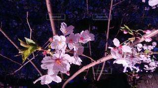 ライトアップされた桜の木の写真・画像素材[1488321]