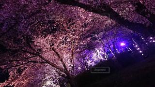 ライトアップされた桜の木の写真・画像素材[1488322]