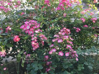 花の写真・画像素材[1497951]