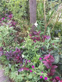 大きな紫色の花は、庭の写真・画像素材[1531629]