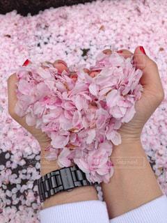 桜🌸ハートの写真・画像素材[1551206]