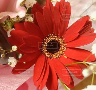 赤い花の写真・画像素材[1518207]