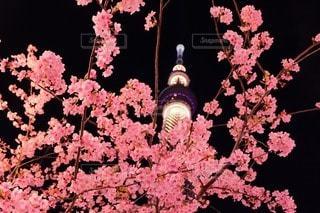桜の写真・画像素材[50669]