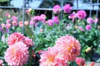 花の写真・画像素材[50695]