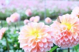 花の写真・画像素材[50698]