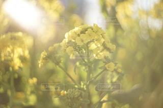 菜の花の写真・画像素材[1491853]