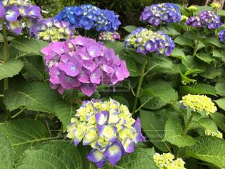 紫陽花の写真・画像素材[1499537]