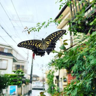 雨上がりの蝶々の写真・画像素材[1495299]