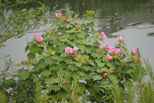 水辺の花の写真・画像素材[1495505]