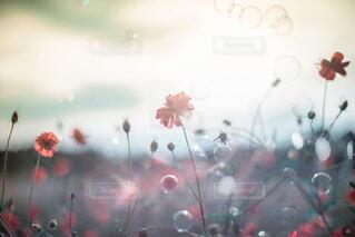 夕焼と秋桜の写真・画像素材[1496720]