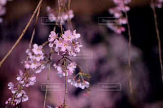 夜桜の写真・画像素材[1745760]