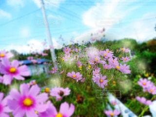 道端に咲いているコスモスの写真・画像素材[1745770]