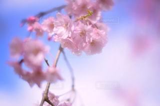 青空と桜の写真・画像素材[1745903]