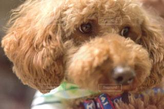 犬の顔アップの写真・画像素材[1745921]