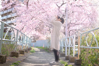 桜を撮る男性の写真・画像素材[1745923]