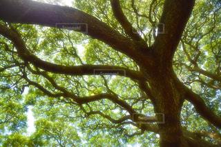 日立の木の写真・画像素材[1745998]