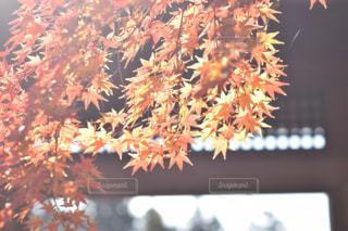 光を浴びた葉の写真・画像素材[1746195]