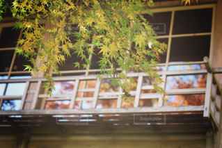 手前と窓越しの紅葉の写真・画像素材[1746197]