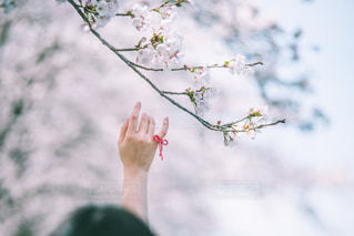 桜と約束の写真・画像素材[2081832]