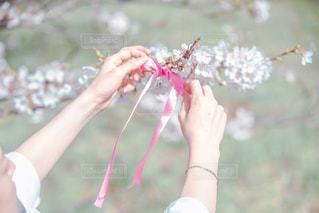 桜とリボン🎀の写真・画像素材[2081849]