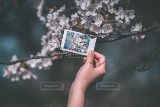 桜の写真・画像素材[2081865]