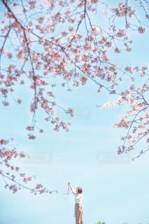 桜と青空とリボンの写真・画像素材[2082043]