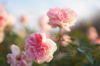 近くの花のアップの写真・画像素材[1708373]