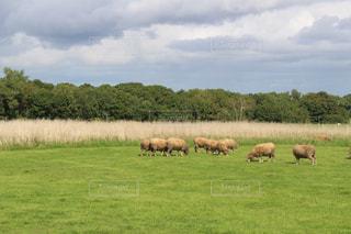 羊の写真・画像素材[223142]