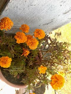 おばあちゃんの花の写真・画像素材[1498635]