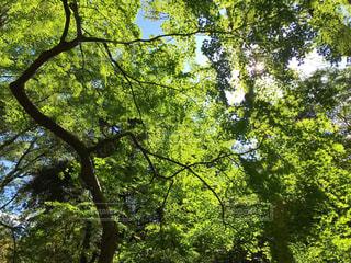 木、木漏れ日の写真・画像素材[1518836]