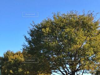青空、木、秋の写真・画像素材[1518841]