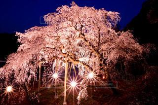 桜の写真・画像素材[1500011]