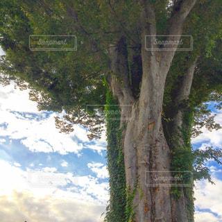 樹齢180年の写真・画像素材[1504709]