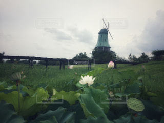 ハスの花の写真・画像素材[2409728]