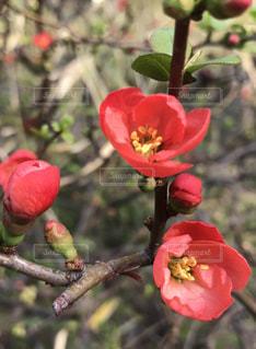 木瓜の花の写真・画像素材[1512403]