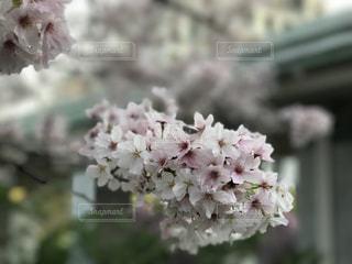 春の風と桜の写真・画像素材[1512449]