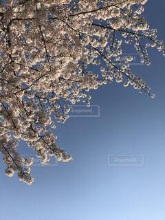 桜咲く春の空の写真・画像素材[1512450]