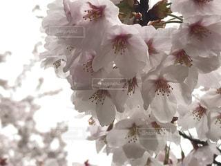 サクラの花の写真・画像素材[1512451]
