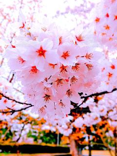 桜の花のアップの写真・画像素材[1504651]