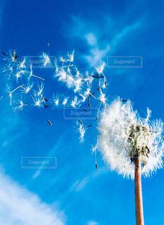 綿毛飛ぶの写真・画像素材[1531509]