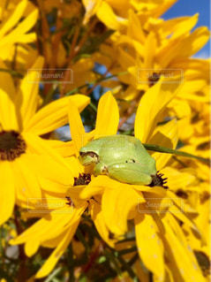 黄色の花🌼と蛙🐸の写真・画像素材[1557049]