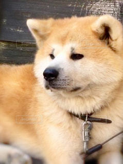 秋田犬の写真・画像素材[1557081]