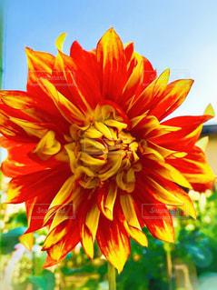 赤と黄色の花の写真・画像素材[1557102]