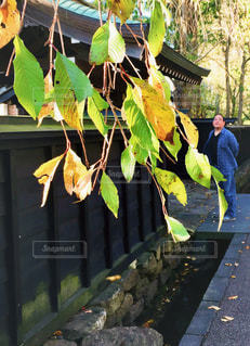 木の葉と塀の写真・画像素材[1557143]