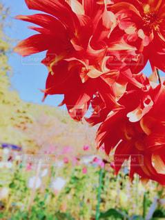 赤ダリアとガーデンの写真・画像素材[1557370]